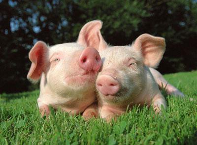 Stockyard Pigs
