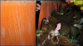 Colony 2+ Chickens