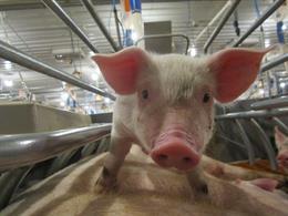 Happy Pig2